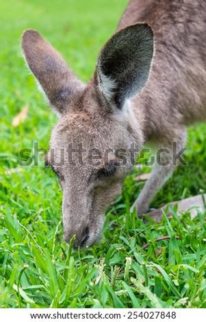 Close up of a grey Kangaroo eating grass. - stock photo