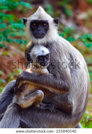 Close-up of a Grey Langur (Semnopithecus Schistaceus) Eating - stock photo