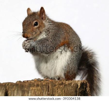 Close up of a Grey Squirrel eating peanuts on a tree trunk - stock photo