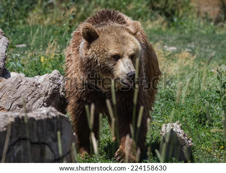 close up of a grizzly bear in eastern Montana under bright sunny conditions
