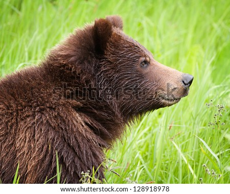 Close up of a grizzly bear in the long grass in northern British Columbia, Canada - stock photo