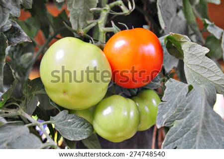 Close up of a growing tomatoes  - stock photo