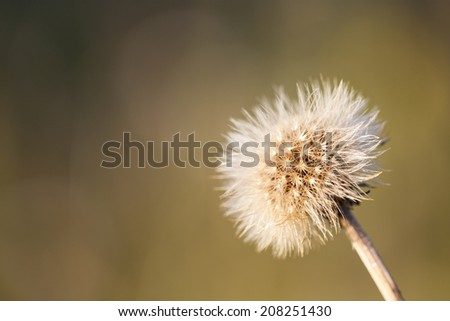 Close up of a hairy brownish wild flower