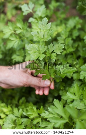 Close up of a hand picking parsley outdoors - stock photo