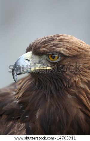 Close up of a head of an eagle
