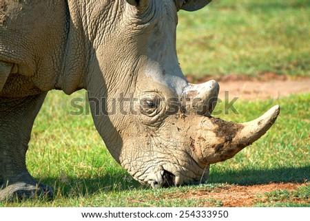Close up of a head of white rhinoceros ( Ceratotherium simum ) - stock photo