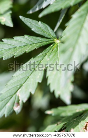 close up of a healthy cannabis plant under sunny conditions