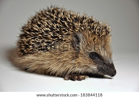 Close-up of a hedgehog on white background - stock photo