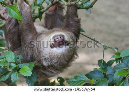 Close up of a Hoffmann's two toed sloth in a tree.  Sloths have a unusually slow metabolism - stock photo