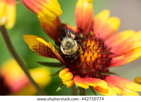 Close up of a Honey bee on a Flower