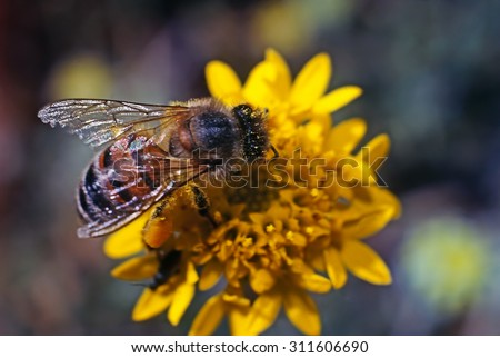 Close up of a Honey Bee on flower