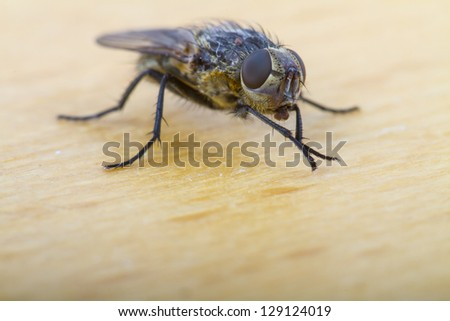 Close up of a House Fly, shallow depth of focus on compound eye