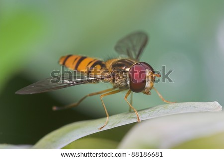 Close-up of a hover fly on a green leaf - stock photo