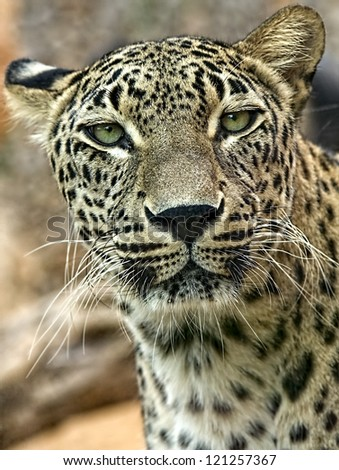 Close up of a Jaguar