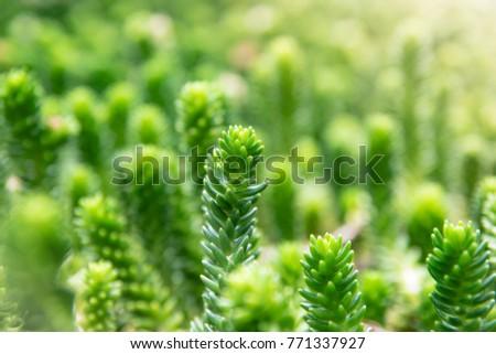 Sedum Rubrotinctum Stock Images Royalty Free Images