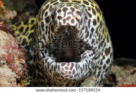Close-up of a Juvenile Honeycomb Moray Eel (Gymnothorax Favagineus) With Open Mouth, South Male Atoll, Maldives - stock photo