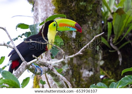 close up of a keel billed toucan in the Costa Rican rainforest