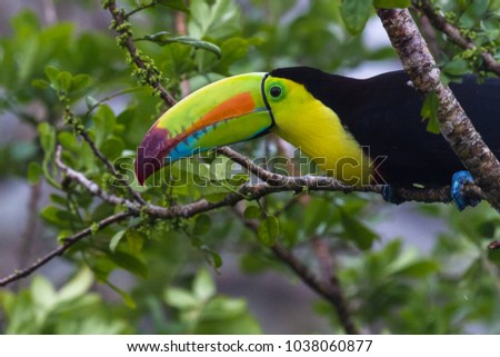Close up of a keel billed toucan perched on a tree branch in tropical Costa Rica