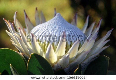 Close Up of a King Protea, South Africa - stock photo