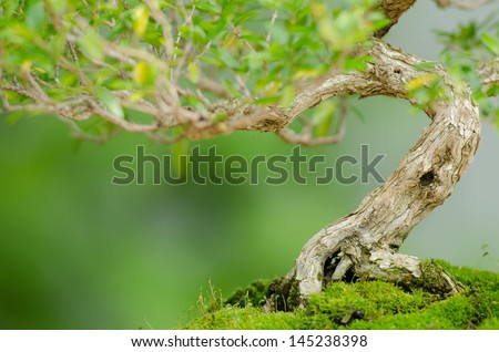 Close up of a knobby trunk of an old Snowrose Bonsai tree - stock photo