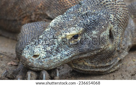 Close up of a Komodo Dragon at Komodo, Indonesia