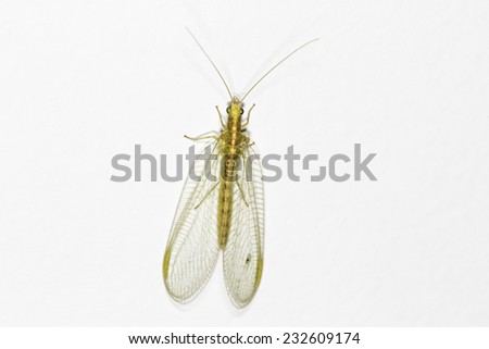 Close up of a Lacewing (Chrysoperla carnea) on a plain background, adults eat pollen and honeydew but the larvae are voracious predators - stock photo