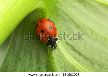 close up of a ladybug on a green stalk - stock photo