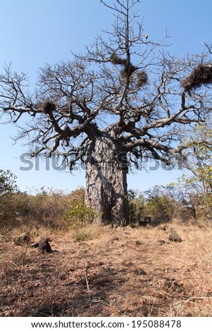 Close up of a large Baobab tree with nests among the branches in the Kruger National Park