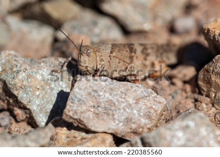 Close up of a large brown and tan camouflage grasshopper hiding among small rocks and gravel on a sunny day. - stock photo