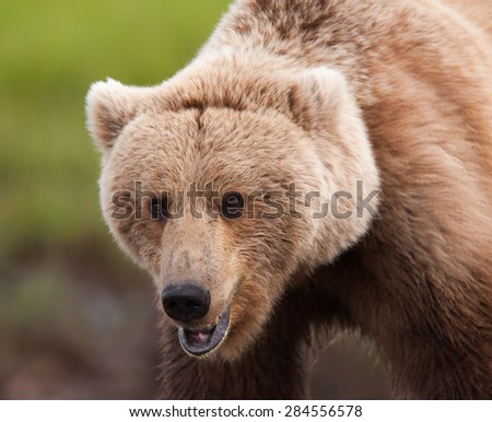 Close up of a large brown bear as it is looking at photographer; full face