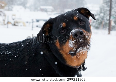 Close up of a large dog who has snow stuck to her face after playing with her family on a snowy day.