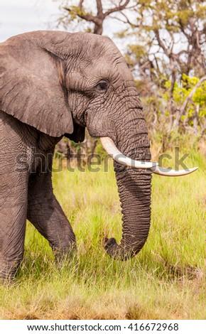 Close up of a Large Elephant - stock photo