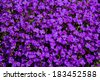 Close up of a large fleck of lilacbush (Aubrieta deltoidea), also known as purple rock cress, a popular rock garden ground cover, blooming in early spring sunshine. - stock photo