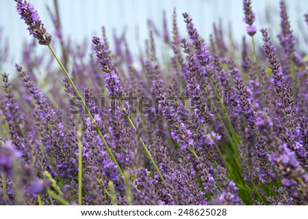 Close-up of a lavender field in bloom  - stock photo