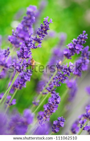 Close up of a lavender plant in bloom - stock photo
