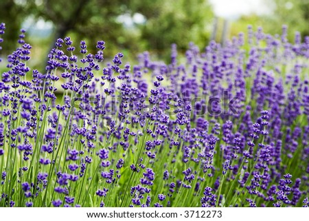 Close up of a lavender plant with lots of flowers 4 - stock photo