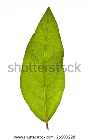 Close up of a leaf isolated against a white background