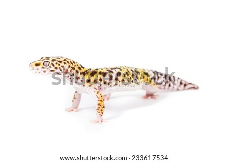 Close up of a leopard gecko on a white background - stock photo