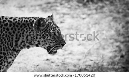 close up of a leopard in black and white - stock photo