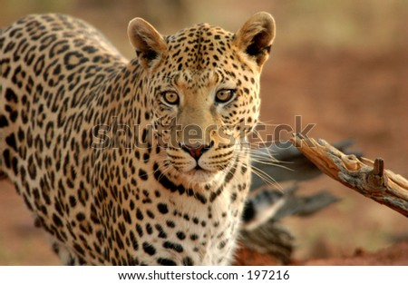 Close-up of a leopard, Namibia, Africa - stock photo