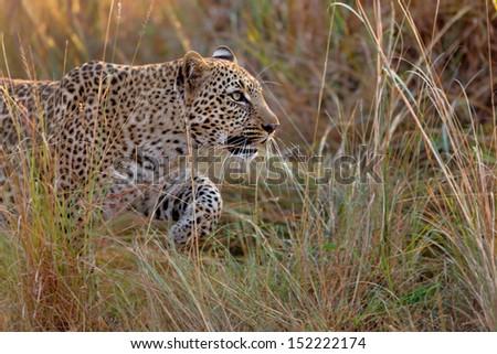 Close-up of a Leopard sneaking through the tall grass in Masai Mara, Kenya - stock photo