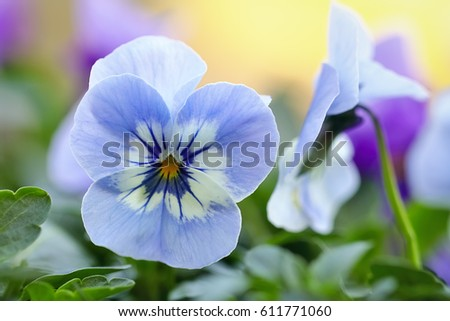 Close up of a light blue pansy flower.
