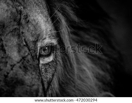 Close up of a Lion eye in black and white in the Kruger National Park, South Africa.