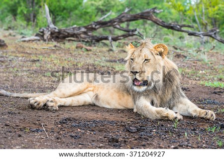Close up of a lion in Zimbabwe, Africa