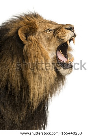 Closeup Lion Roaring Isolated On White Stock Photo 165448253