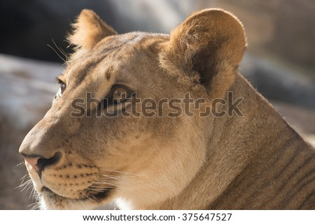 Close-up of a lioness resting on a rocky outcrop with the Masai Mara grasslands and hills in the background.