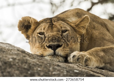 Close-up of a lioness resting on rock, Serengeti, Tanzania, Africa - stock photo