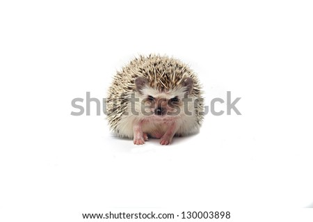close-up of a little hedgehog Isolated on a white background - stock photo