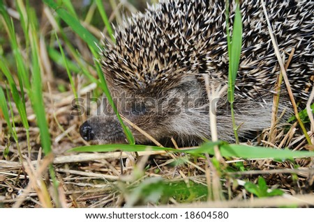 Close-up of a little hedgehog on the grass.