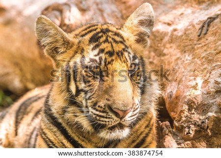 Close up of a little tiger outdoor in Thailand, Asia. - stock photo